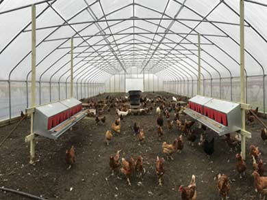 chickens-in-greenhouse