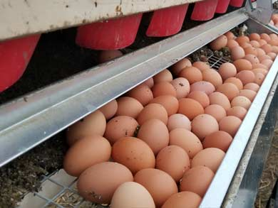 clean-farm-fresh-chicken-eggs