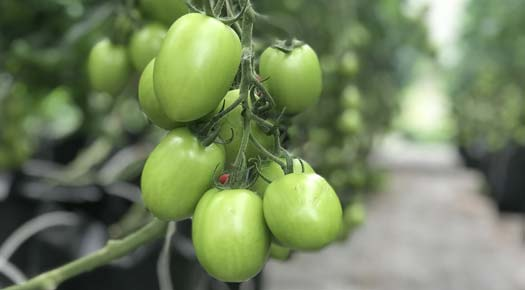 csa-package-overview-tomatoes