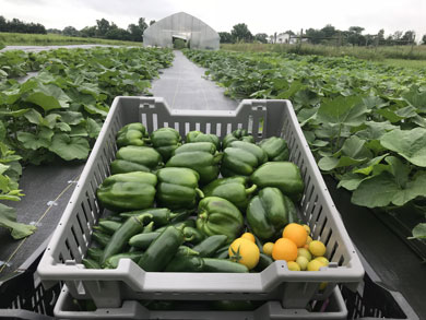 csa-peppers-tomatoes-in-squash-field